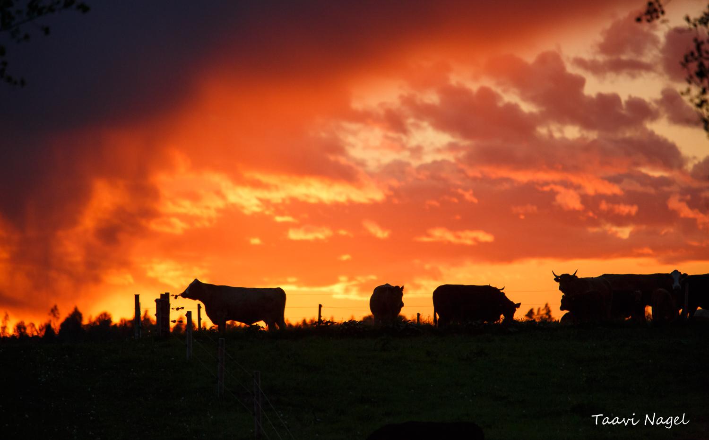 Õhtu karjamaal