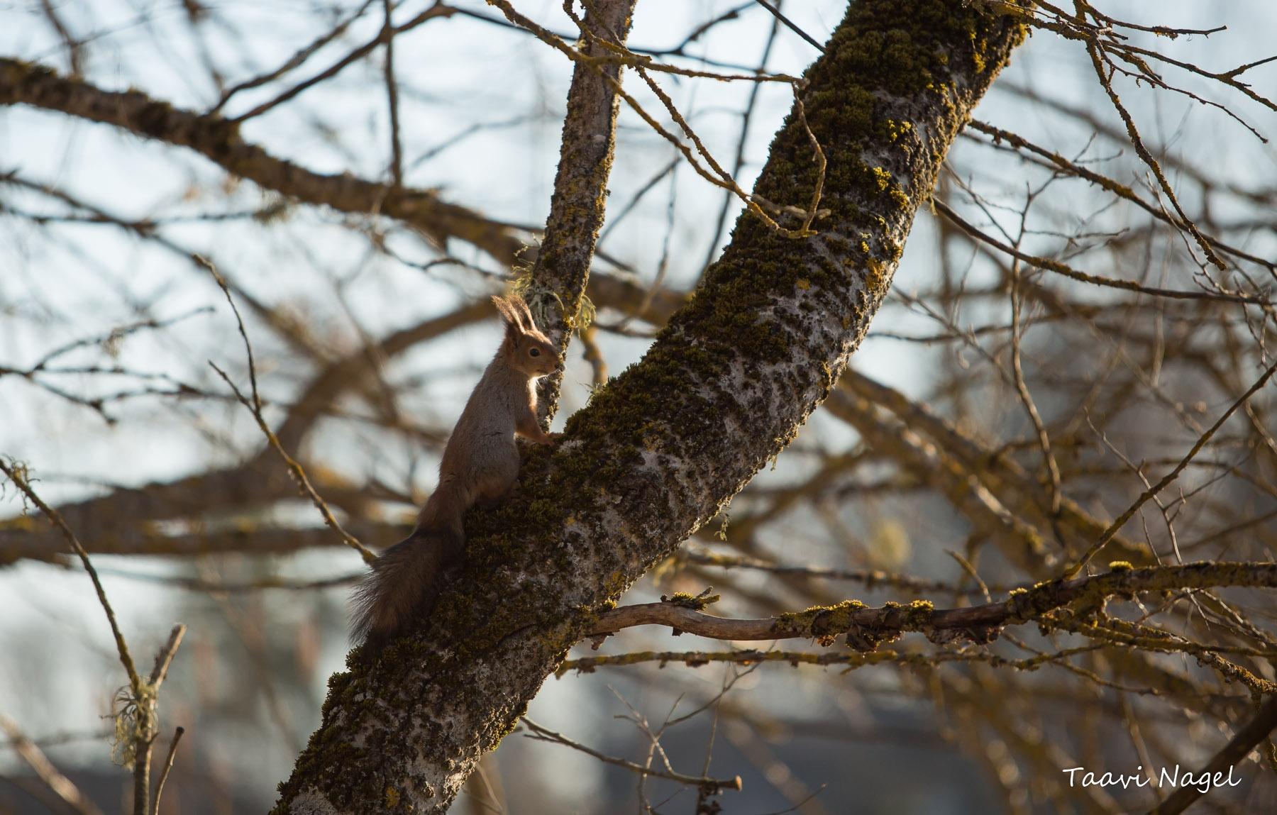 Oravapoiss