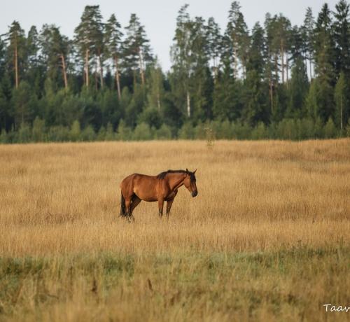 Kurb hobune kõrbend põllul