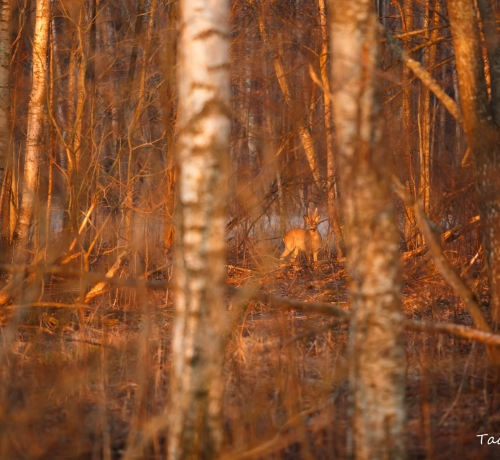 Kuldne mets koos kuldse sokukesega