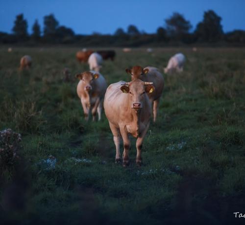 Õhtu lehmadega