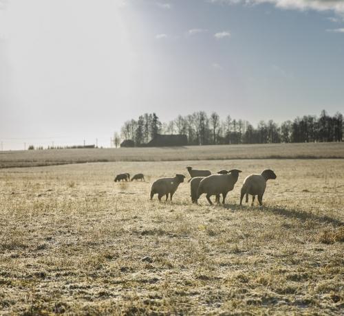 Pissivad lambad