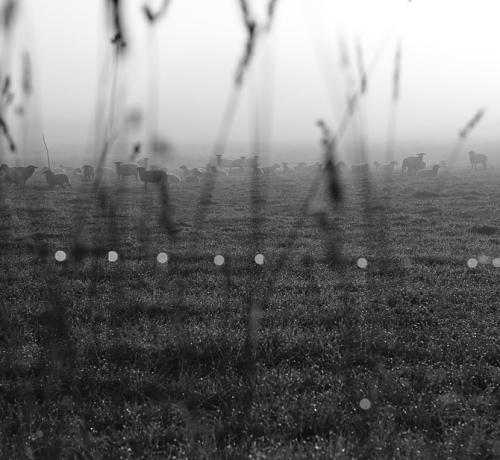 Oht varitseb loomakesi kõikjalt ,sedakorda hiilis lambaid vaid tühine paparatso...