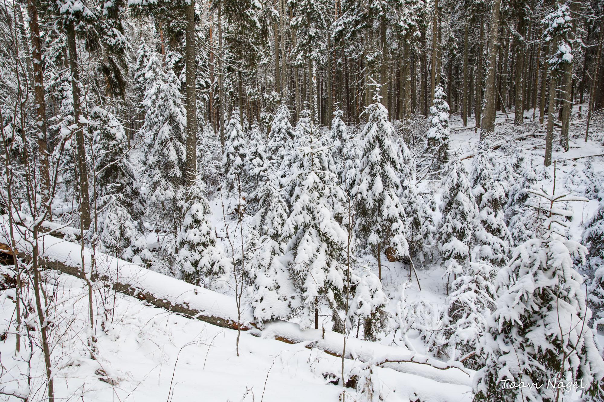 Talvises metsas .. veebruar 2018