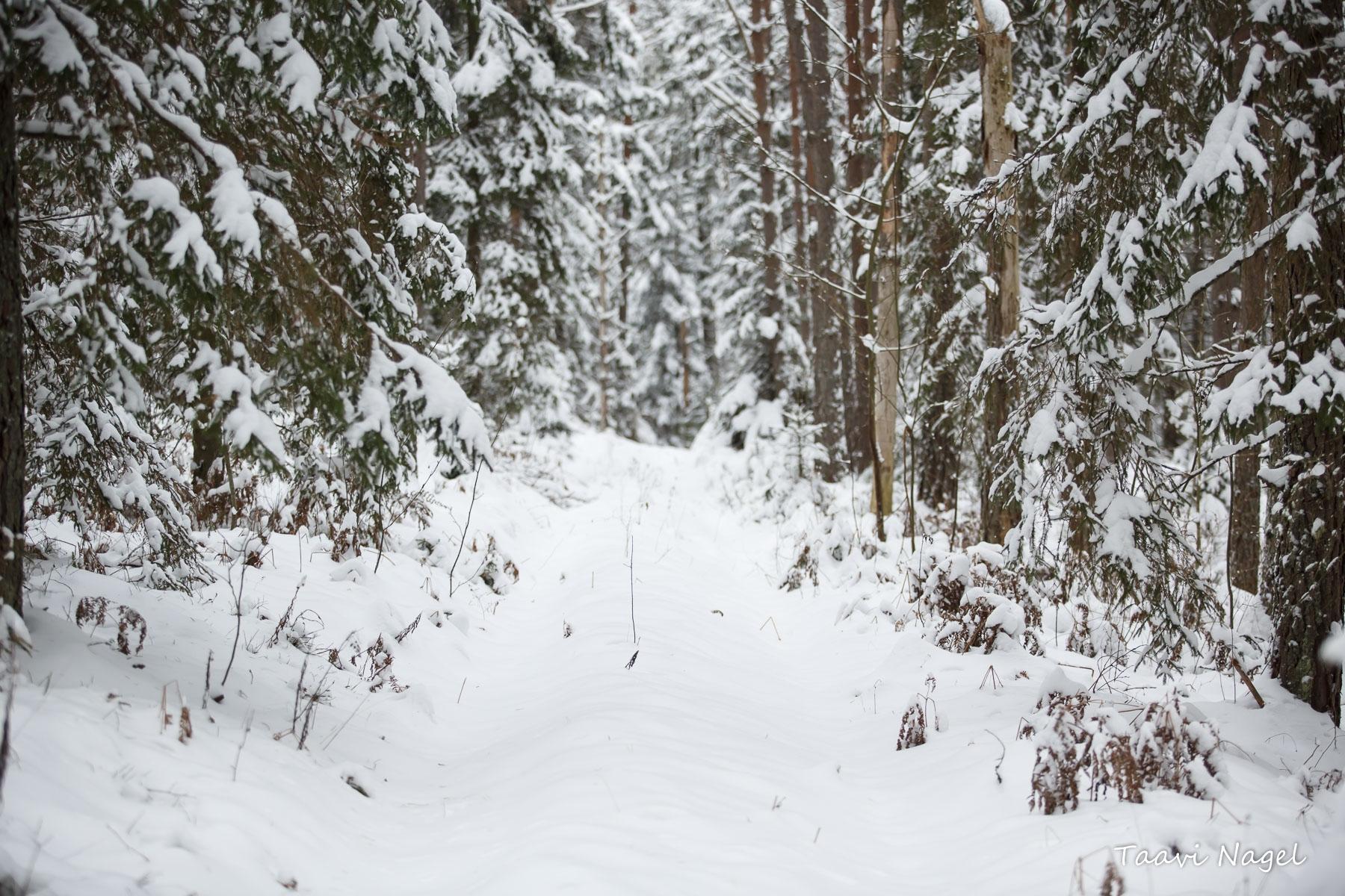 Lumisel metsarajal