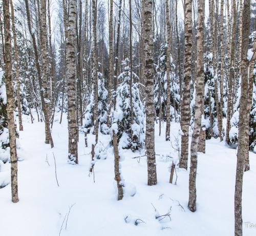 Talvises kasesalus... ilus talvine ,kas pole