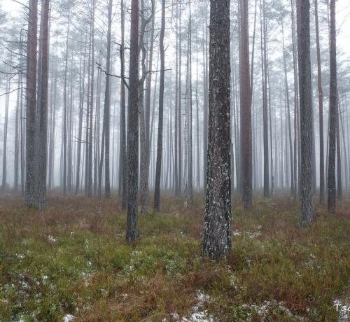 Uduses metsas..
