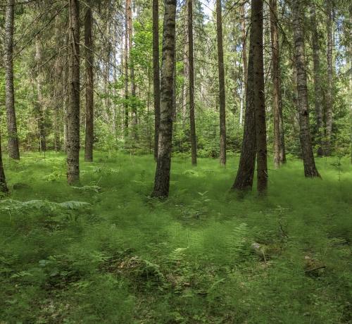 Suvises metsas
