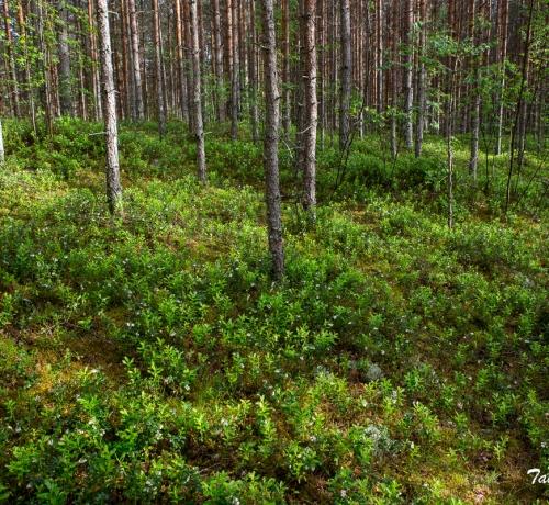 Suviselt mõnus metsaalune