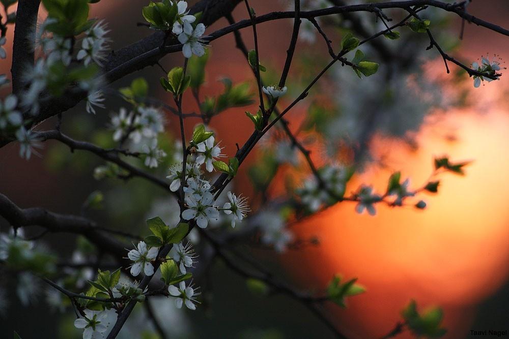 Kirsiaed
