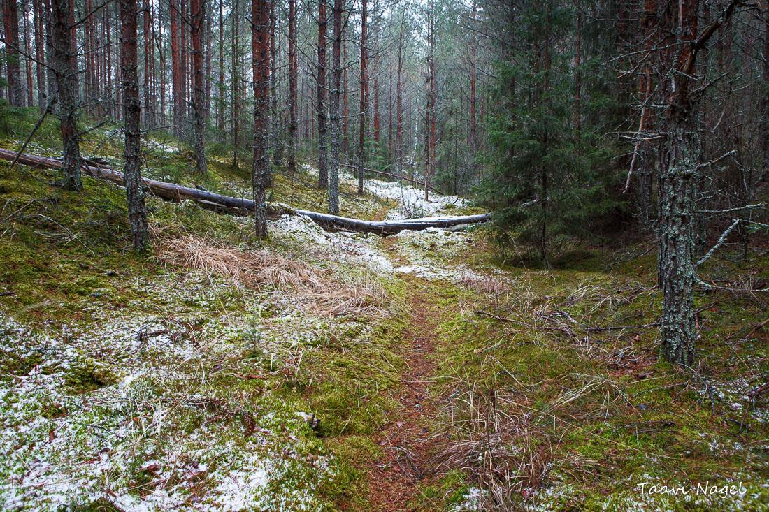 Metsas talve otsimas