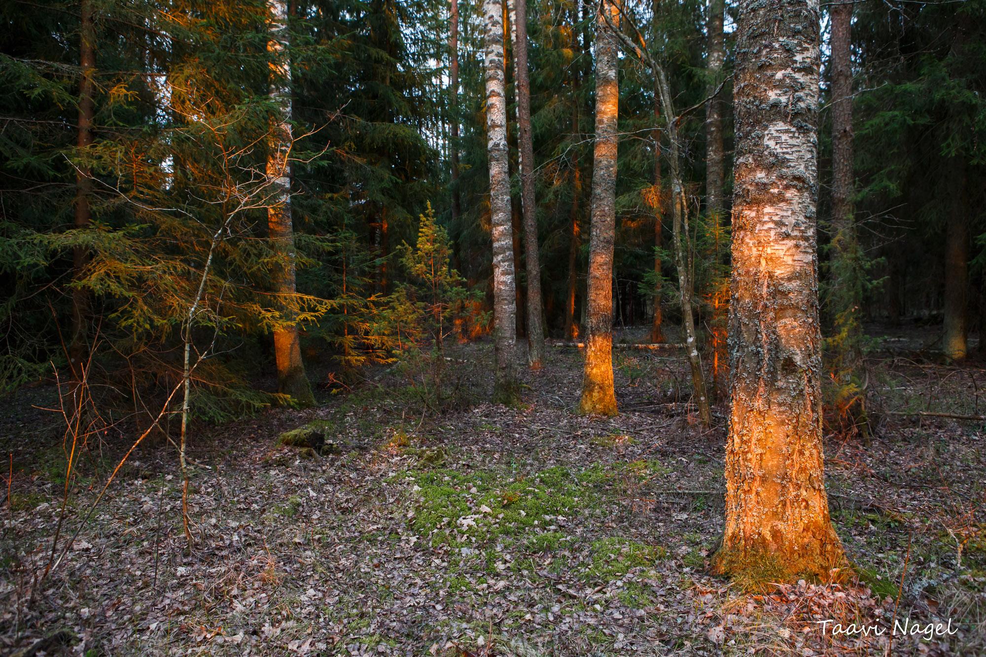 Mets särab