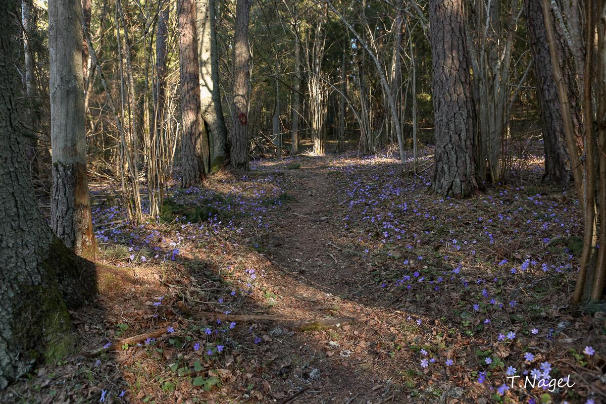 Kevadisel metsarajal