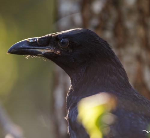 Ronk ehk kaaren (Corvus corax)